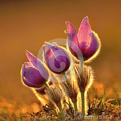 Free Pasque Flower Blooming On Spring Meadow At The Sunset - Pulsatilla Grandis. Fine Blurred Natural Background Color. Stock Photography - 44322812