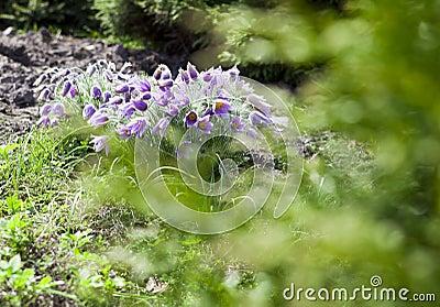 Pasque-flower blurred