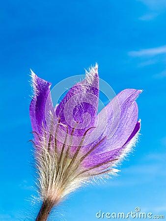 Pasque Flower close-up against blue sky