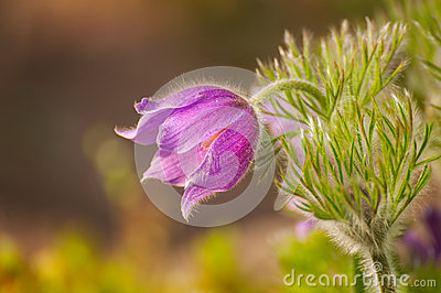 Pasque-flower