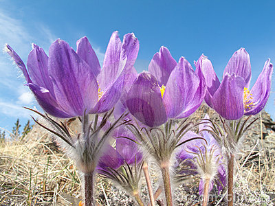 Pasque Flowers close-up in natural environment