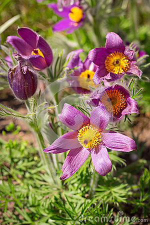 Pasque spring flowers
