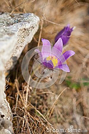 Pasque Wild Flower