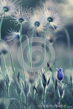 Free Pasque Wild Flowers Royalty Free Stock Photography - 38833457