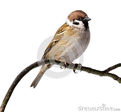 Free Passer Montanus, Tree Sparrow Royalty Free Stock Image - 15697626