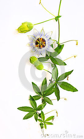 Free Passiflora Royalty Free Stock Images - 74065979
