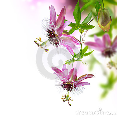 Free Passiflora Flower Stock Photography - 25970212