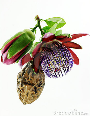 Passiflora. Flower and fruit.