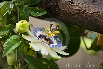 Passion flower with a bough