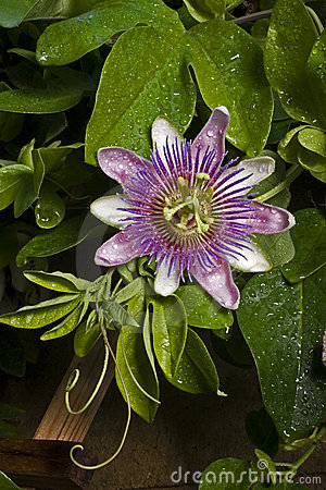 Passion Flower (passiflora) on Vine