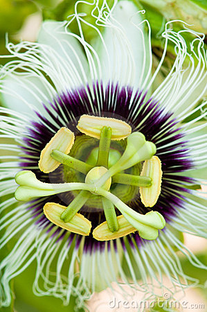 Passion Fruit Flower Closeup