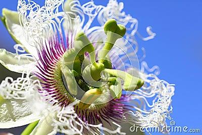 Passion fruit flower macro
