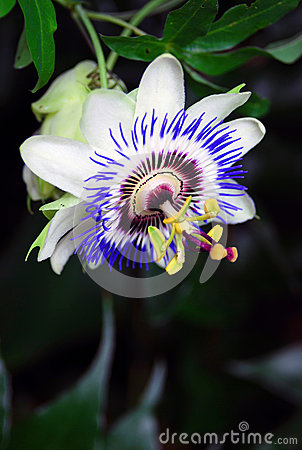 Free Passionflower Close-up Royalty Free Stock Images - 31629459