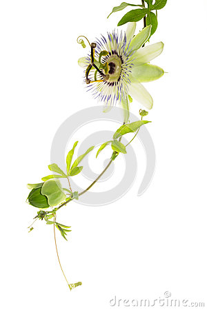 Free Passionflower With A Bud On The White Royalty Free Stock Photography - 27997227