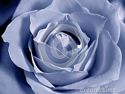 Pastel blue rose