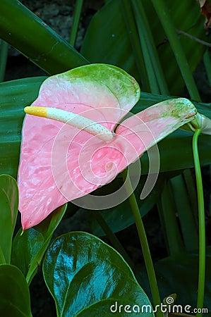 Free Pastel Pink Anthurium Lily Royalty Free Stock Photo - 658305