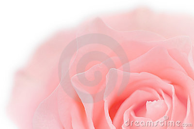 Pastel pink Rose Close-up