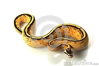 Pastel super stripe ball python