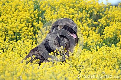 Pastor caucasiano nas flores