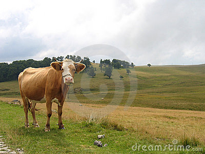 Pasture – Portrait of a cow