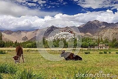 Pastureland in Himalayas