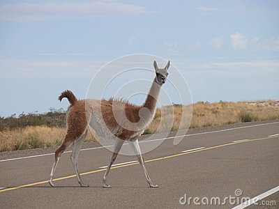Patagonia Guanaco on the road
