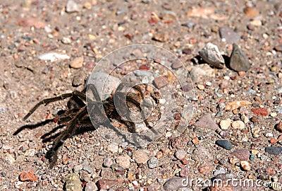 Patagonian Spider