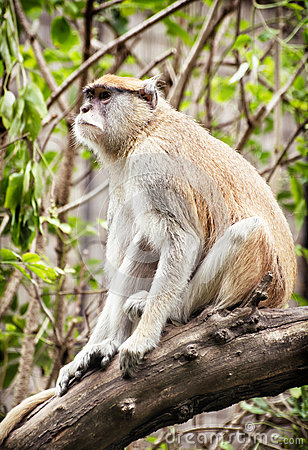 Free Patas Monkey (Erythrocebus Patas) Sitting On The Branch And Obse Stock Image - 64959521