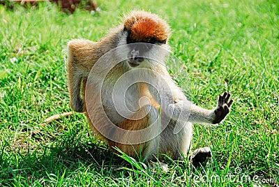 Patas monkey, Kidepo Valley National Park (Uganda