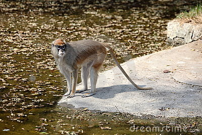 Patas Monkey at water s edge