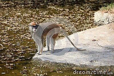 Patas Monkey at water s edge