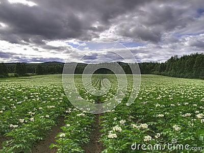 Patata ecologica del campo