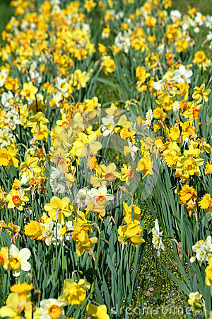 Patch of daffodils