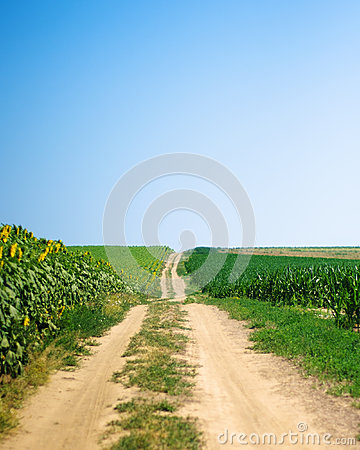 Path between corn and sunflower fields