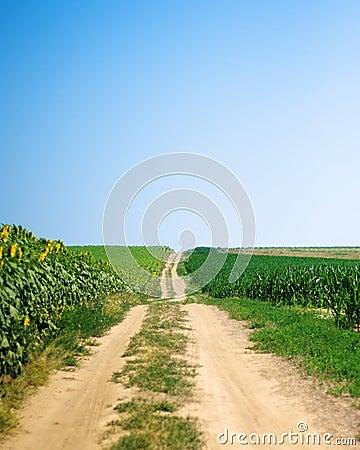 Path between corn and sunflower fields