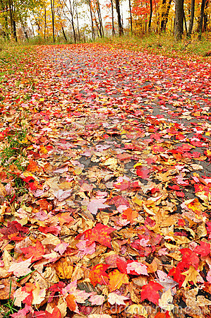 Path Covered with Maple Leaves