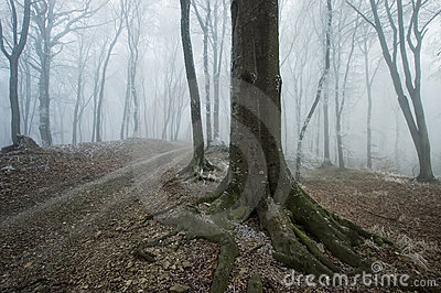Path through a foggy forest with an old tree