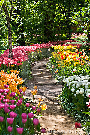 Path in a garden among tulips