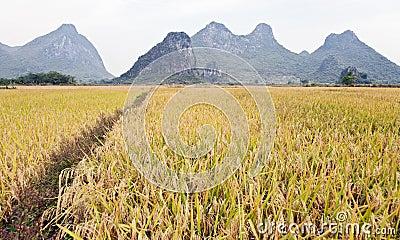A path through golden fields