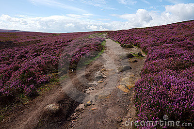 A Path Through a Heather Landscape