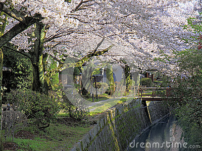 Path of Philosophy under Cherry Blossoms