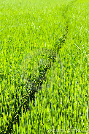Path through rice paddy