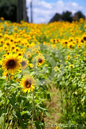 Free Path Through Sunflowers Royalty Free Stock Image - 101805266