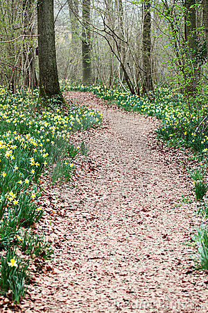 Free Path Through Wild Daffodils Royalty Free Stock Image - 19320656