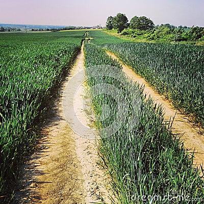 Path in wheat field