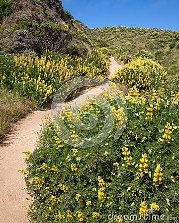 Path through Yellow Bush Lupine in California