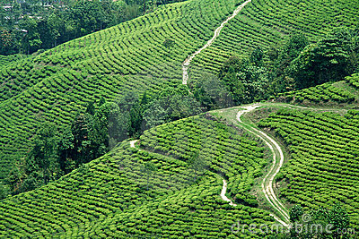 Paths in Tea Garden