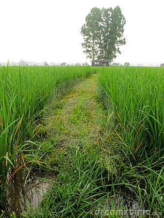 Pathway in the rice field