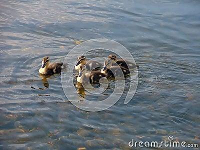 Patinhos pequenos que nadam em um grupo