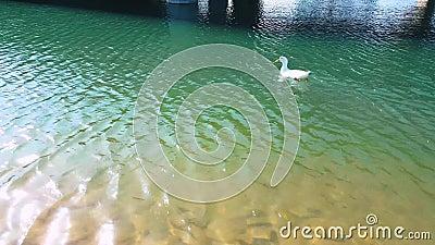 Pato blanco con la natación anaranjada del pico en la charca en un día soleado almacen de video